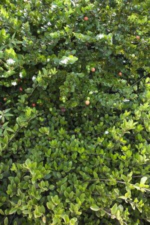 Green lush Jasmine bush
