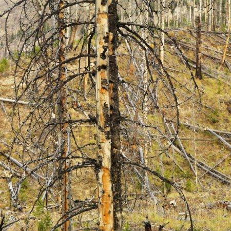 Photo pour Nouvelle croissance dans une forêt antérieurement détruite par un incendie . - image libre de droit