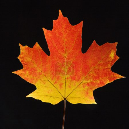 Maple leaf on black.