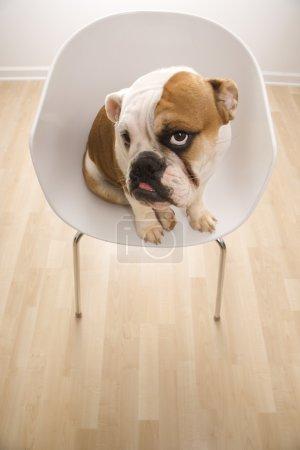English Bulldog in chair.