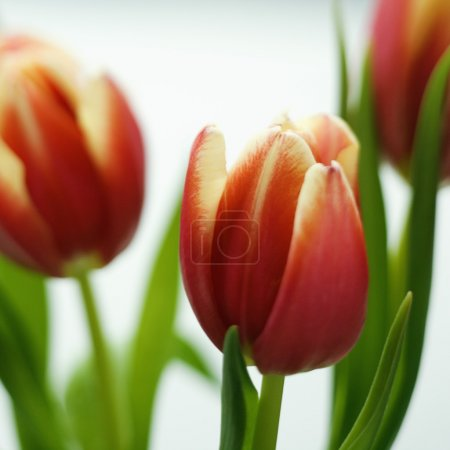Photo for Close up of variegated red and yellow tulip flowers. - Royalty Free Image