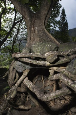Tangled tree roots