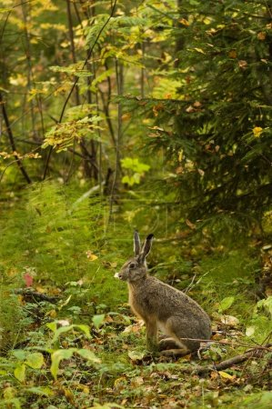 Photo for Alert hare in the forest - Royalty Free Image