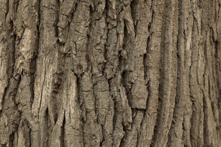 Photo for Texture of wood. Background of bark of old oak. - Royalty Free Image