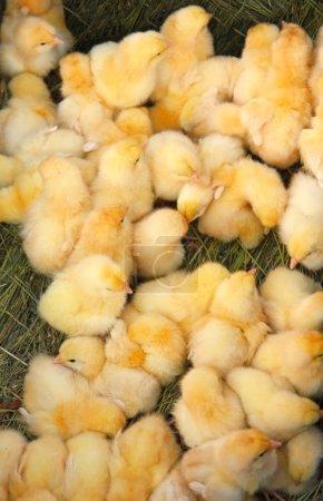 Photo pour Beaucoup de petits poulets jaunes . - image libre de droit