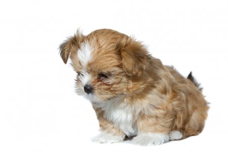 Cute brown and white puppy looking down