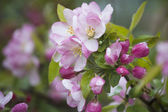 Apple flowers ; spring forest
