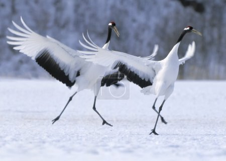 Photo for Japanese crane courtship dance - Royalty Free Image