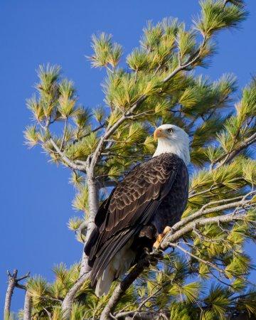 Proud bald eagle scans the sky