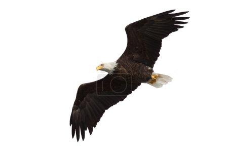 Photo pour Aigle chauve à ailes déployées vole à travers le ciel, fond blanc - image libre de droit