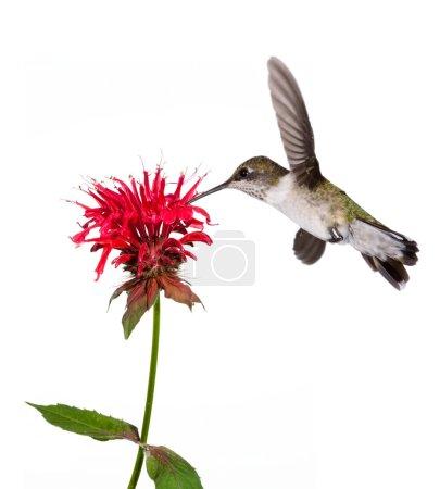 Hummingbird sips nectar