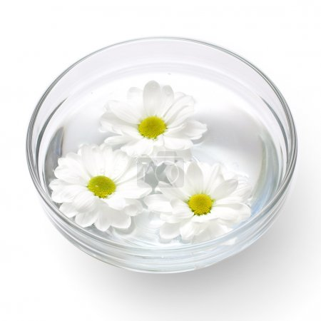 Photo for Three chrysanthemums floating on the water in a bowl isolated on white - Royalty Free Image