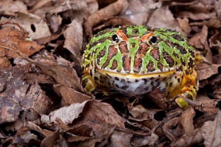 Photo for Ornate horned frog sitting in dead leaves - Royalty Free Image