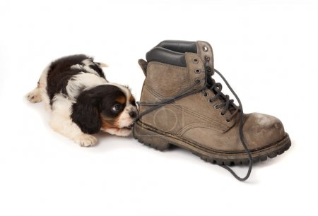 Puppy with old boot
