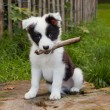 Seven weeks old border collie puppy dog in green m...