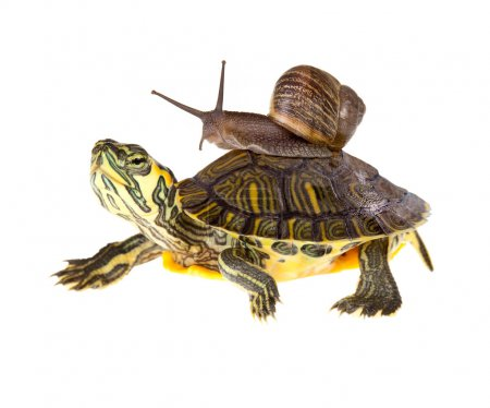 Photo for Funny garden snail taking a lift on a turtle's back - Royalty Free Image