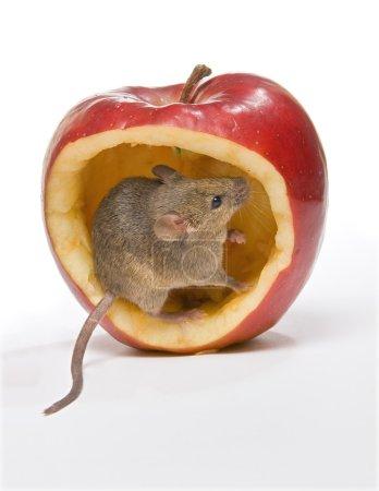 Foto de Pequeño ratón sentado en una gran manzana roja - Imagen libre de derechos