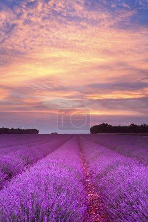 Photo pour Coucher de soleil sur un champ de lavande d'été en Provence, France - image libre de droit