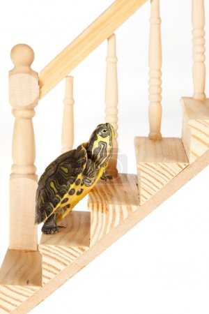 Photo for Little green turtle moving up slowly on a wooden stair, making progress - Royalty Free Image