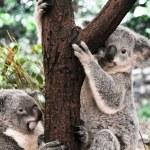 Koalas in a tree...