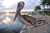 Brown pelican in Ponce, Puerto Rico