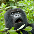 Mountain Gorilla in Volcano National Park (Rwanda)...