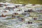 Hippo, Ishasha river, Uganda
