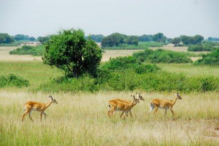 Uganda Kobs, Queen Elizabeth National Park, Uganda