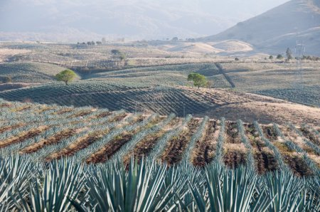 Agave field in Tequila, Jalisco (Mexico)