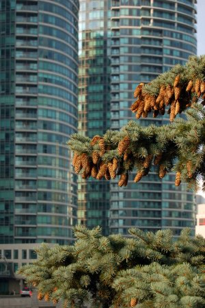 Spruce tree with cones in Toronto downtown...