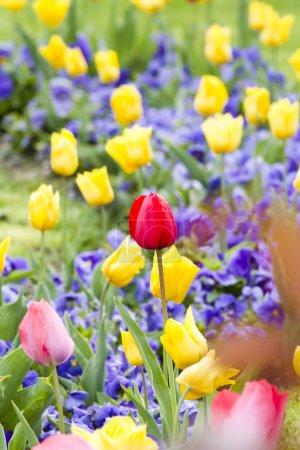 Colorful Spring tulip background