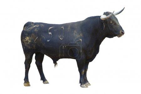 Powerful bull isolated on white, spanish bullfight