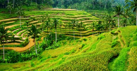 Rice paddy panorama