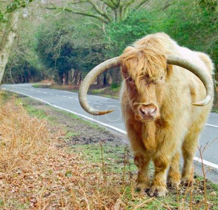 Ginger Highland Cow