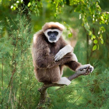 Photo pour Gibbon de main blanche dans la forêt spectateur regarde fixement - image libre de droit