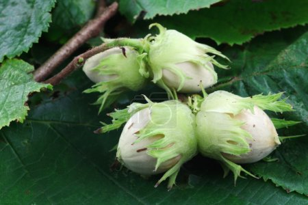 Branch with hazelnuts on some green leaves