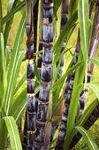 Cukornád növény