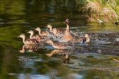 Prchající rodina kachen
