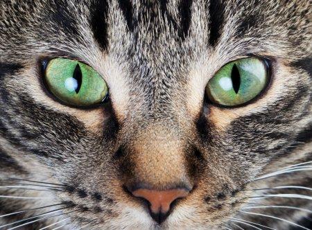 Photo pour Un coup de macro du visage du jeune chat Tigré. se concentrer sur ses magnifiques yeux verts! - image libre de droit