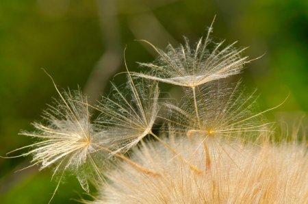 Dandelion on field in spring