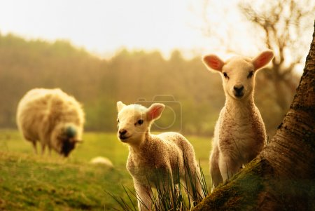 Spring Lambs watching you...