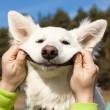 Swiss Shepherd dog smiles with man`s help...