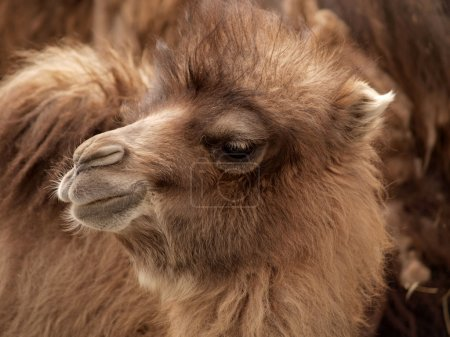 Baby bactrian camel in nubra valley, ladakh