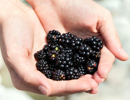 Photo pour Handful of ripe blackberries in the women's hands - image libre de droit