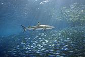 Blacktip Reef Shark and Fish