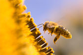 Macro of a honeybee in a sunflower