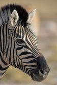Portrét zebra