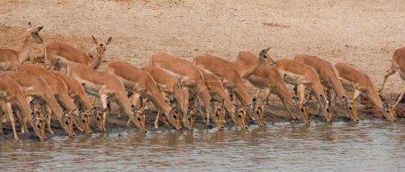 Drinking impalas standing at a waterhole.