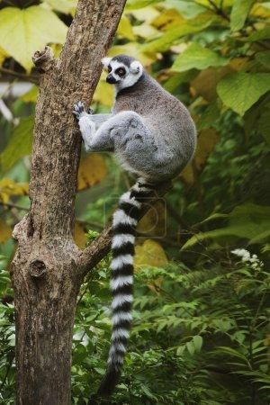Photo pour Les lémuriens à queue cerclée (Lemur catta) vivent dans des groupes sociaux où les mâles se disputent des partenaires. Ils vivent sur un régime de fruits, de fleurs, d'herbes et de feuilles avec l'insecte occasionnel . - image libre de droit