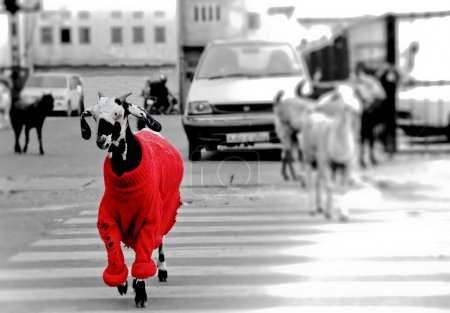 Photo for Goat in the red sweater walking through the road. - Royalty Free Image
